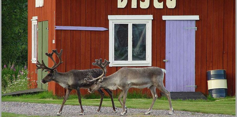 Reindeers going to a disco in Sweden