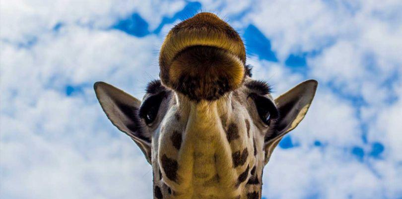 Giraffe overhead, Tanzania