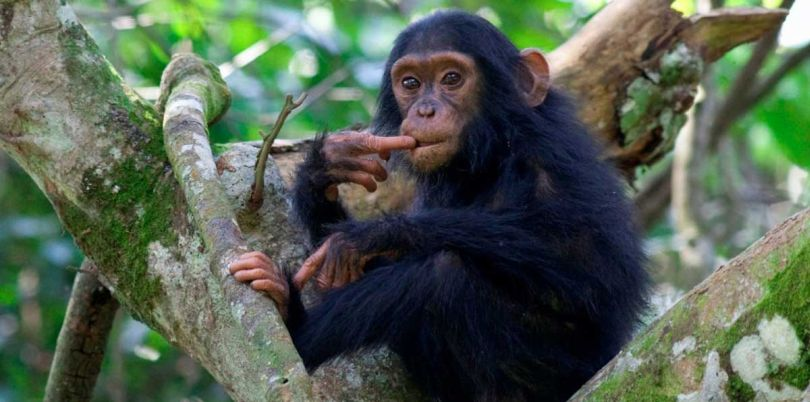 Chimpanzee looking confused in Uganda
