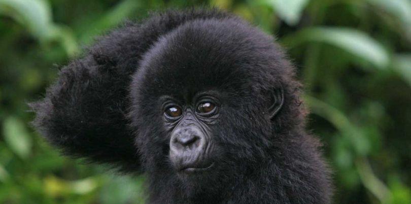 Baby gorilla scratching its head in Rwanda