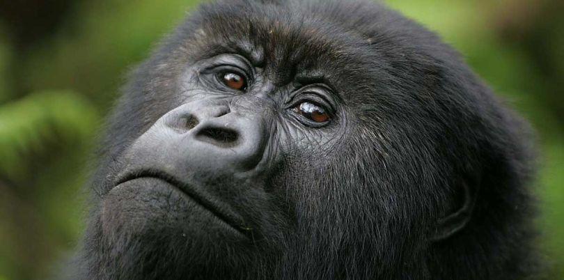 Close up of a gorilla in Rwanda