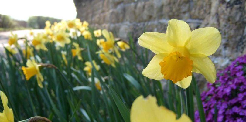 Daffodile on the road side, UK