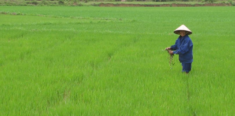 Rice farmer with rice hat in a rice field in Vietnam